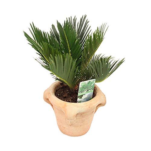 Plante d'intérieur de Botanicly – Cycas du Japon en pot de fleur terre cuite comme un ensemble – Hauteur: 35 cm – Cycas Revoluta Compact