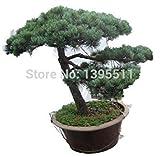 30pcs / bag semillas japonesas rboles bonsai de pino, Pinus thunbergii semillas