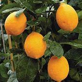 Fash Lady 10: 20 graines de citronnier nain - Plante d'extérieur, Bonsaï de jardinerie bricolage, parfumé 10