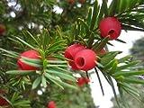 Alick 20 semillas de rbol de Taxus Baccata
