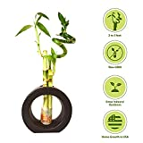 9GreenBox - 3 Style Spiral Lucky Bamboo with Hollow Brown Ceramic Vase