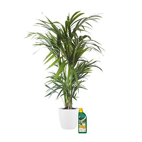 Plante d'intérieur de Botanicly – Palmier Kentia en pot de fleur blanc + 500 ml d'engrais comme un ensemble – Hauteur: 125 cm – Howea Forsteriana