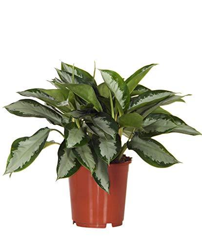 Aglaonema commutatum « Silver Bay » | Aglaonème | Plante verte d'intérieur | Hauteur 40-50 cm | Pot Ø 17 cm