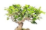 UEYR Consejo - Raras 20 Semillas -Tropical -Ornamental - Bonsai o Standard- Resistente Corteza -Ficus altissima