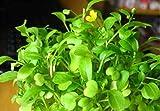 Semillas de plantas de hierba de acuario de hierba de amor, hierba de agua de alfombra de hoja acutica, semillas de plantas de estanque vivo, decoracin de hierba