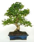 Ficus Retusa 10 aos