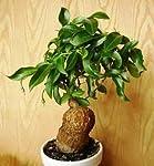 学名 : Talinum Caffrum の輸入種子、5粒です。 欧州からの輸入種子です。 アフリカ大陸東海岸一帯の標高100~2000mまでの開けた森林地帯や草原の岩場に自生するスベリヒユ科の塊根植物。 塊根は元々地中に埋まっていますが、わざと露出させて栽培します。 塊根を埋めている場合はある程度の寒さに耐えられますが、露出して栽培す場合は暖かい場所で管理します。 ※種子の性質上、発芽率は分かりかねますので、予めご了承願います。