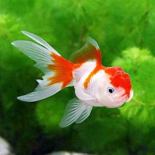 (国産金魚)更紗オランダ獅子頭/更紗オランダシシガシラ(1匹) 本州・四国限定[生体]