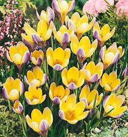AGROBITS Des graines: Safran 50Pcs Safran plantes Crocus (pas les bulbes de safran) Bonsai Plantation Potted Alors Fragrant Beauté Votre Jardin: Jaune