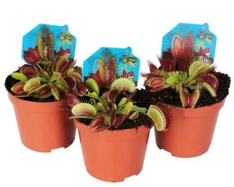 Trio de Plantas Carnívoras Venus Atrapamoscas Dionaea Musci