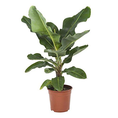 Plante d'intérieur de Botanicly – Bananier – Hauteur: 80 cm – Musa