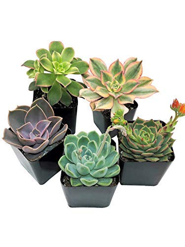 Succulent Plants Live (5 Pack), Fully Rooted Succulents - Unique...