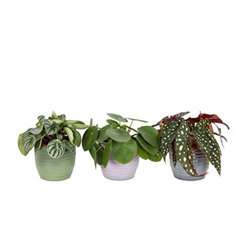 Plantes d'intérieur de Botanicly – 3 × Bégonia, Peperomia pastèque, Plante à monnaie chinoise – Hauteur: 20 cm – Begonia maculata, Pilea peperomioides, Peperomia Argyreia