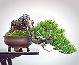Rojo japons pino 40 Semillas-Pinus densiflora-Bonsai