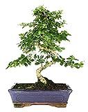 Bonsai - Carmona, 10 Aos (Bonsai Sei - Carmona Microphylla)