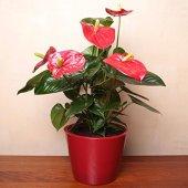 Anthurium Red - 1 plante
