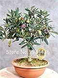 Bloom Green Co. Promocin!20 Unids Raro Olivo Bonsai de Olivo (Olea Europaea) Mini Planta de rbol Para Jardn en Casa, Macetas Exticas Macetas: 5