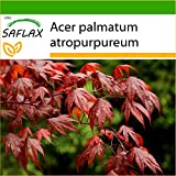 SAFLAX - Arce japons - 20 semillas - Con sustrato estril para cultivo - Acer palmatum
