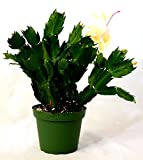 9GreenBox - Rare Yellow Christmas Cactus Plant - Zygocactus - 4' Pot