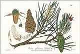 Posterlounge Lienzo 130 x 90 cm: Scots Pine, 19th Century Illustration de Science Photo Library - Cuadro Terminado, Cuadro sobre Bastidor, lmina terminada sobre Lienzo autntico, impresin en Lienzo