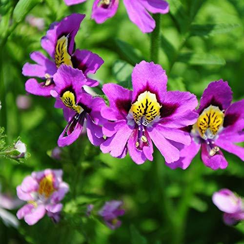 Schizanthus Graines De Fleurs 30 pcs Orchidées Graines Papillon Fleur, Fleur De Frêne, Ailes D'ange Mélange Coloré Graines Organiques pour Bonsaï Maison Jardin En Plein Air Cour Ferme Plantation