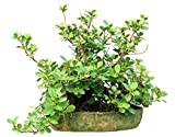 UEYR Semillas ficus hispida Rare10 Ornamental Tropical - Bonsai o Standard Resistente Corteza Hairy Fig