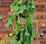 Soteer Seed House - Mini concombre 'Mini Stars' F1 Graine de concombre bio Bio Snack...