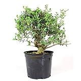 Prebonsi Olea europaea sylvestris ACEBUCHE 14 aos