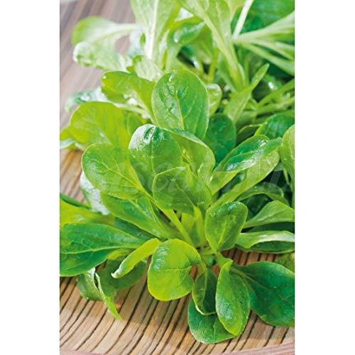 Semillas aromáticas - Canónigos (Valerianella locusta) - Mascarell