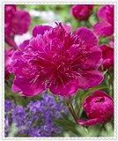 Peonas bulboPeony de las semillas de flor macetas jardineras peonas semillas de bonsi plantas Semillas para el hogar y el jardn-20bulbos,Rosa