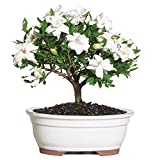 Brussel's Live Gardenia Outdoor Bonsai Tree - 4 Years Old; 6' to 8' Tall with Decorative Container - Not Sold in Arizona