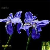 graines orchidée Phalaenopsis orchidées colombe fleurs bleues papillon bleu graine iris 100 graines