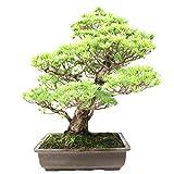 Pino blanco japons, Pinus parviflora, bonsi para exterior, 50 aos, altura 58 cm