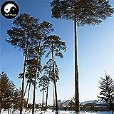 Shopvise Comprar Changpai pino escocs Semilla Semilla Semilla 240Pcs Pinus sylvestris belleza pino