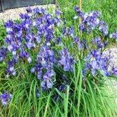 Stupid Girl Heirloom missouriensis Blue Iris Fleurs, 25 graines