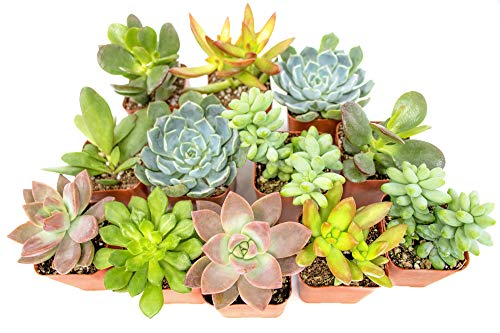 Succulent Plants (12 Pack) Fully Rooted in Planter Pots with Soil  ...