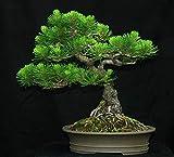 VISA STORE Mugo Pine, Pinus mugo, 100 semillas de semillas (Hardy Evergreen, Bonsai, Topiary)