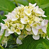 Thompson & Morgan Hardy Perennial Hydrangea Macrophylla 'Endless Summer – Blushing Bride' Deciduous Flowering Shrub, Potted Garden Plants Ideal for Cottage Gardens & Containers (1 x 3 Litre Pot)