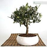 Bonsai de olivo en tazn bajo