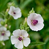 Outsidepride Marsh Mallow Herb Plant Seed - 1000 Seeds
