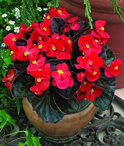 RETS Begonia Seeds 50 graines pastillées Begonia Bada Boom Scarlet