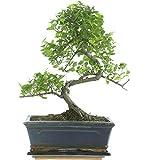 Sageretia, bonsi, 9 aos, 33 cm