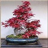 50 PCS raras semillas de arce verde y prpura en color follaje rojo Bonsai Jardn de plantas en maceta para Tiesto plantadores 3