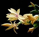 Yellow Christmas Cactus Plant - Zygocactus - 4' Pot