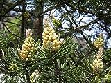 Portal Cool Las Semillas del Paquete: 150 de Pinus sylvestris, Pino Silvestre