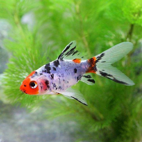 (国産金魚)朱文金(1匹)