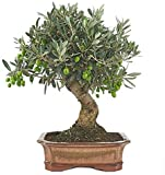 Bonsi Olivo de 9 Aos Olea Europaea, rbol Aceitunero, Olivera, Bonsi Olivo