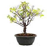 Bonsai Sageretia, Sageretia thea, 10 aos, altura 26 cm