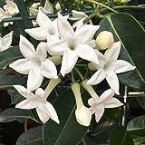Jazmín de Madagascar - Stephanotis - Maceta 19cm. - Altura aprox. 55cm. -...