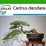 SAFLAX - Cedro del Himalaya - 35 semillas - Con sustrato estril para cultivo - Cedrus deodara